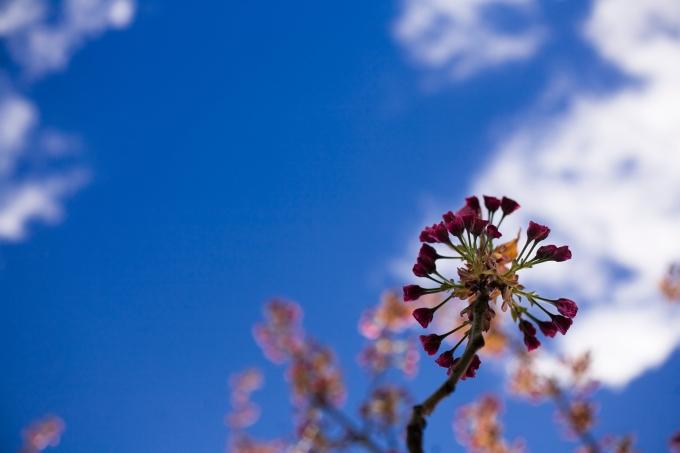 CherryBlossomBud