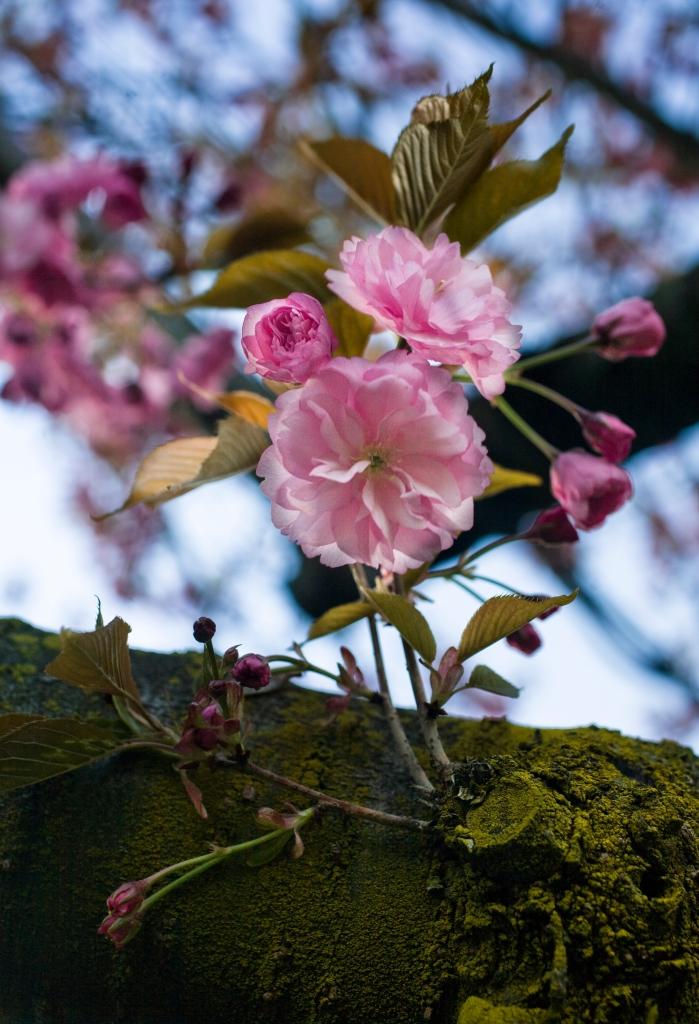 CherryBlossomBuds
