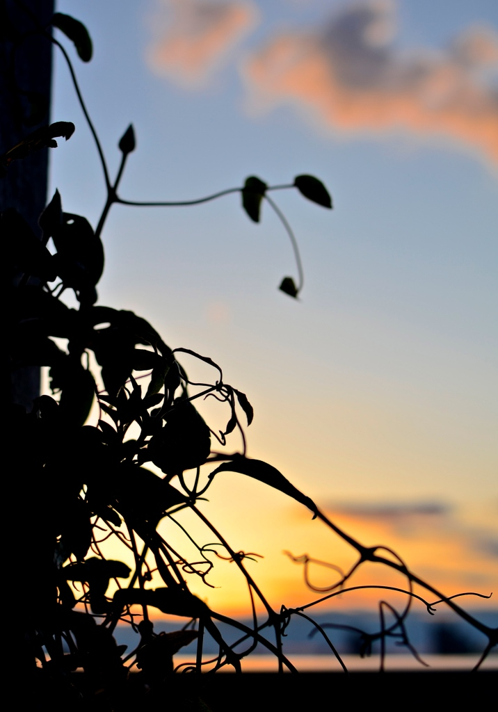 SunsetVines